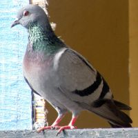 Pigeon Beauty by bogas04