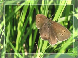 brown butterfly. by steeerne