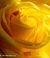 Yellow Rose Macro III by BreeSpawn