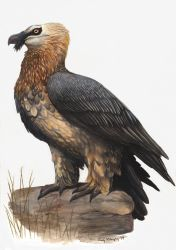 Bearded Vulture by EWilloughby