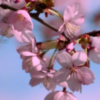 pink cherry blossom by photographybypixie