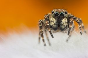 Jumping Spider 5 by Abovelifesize