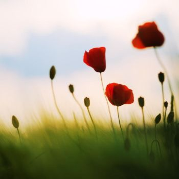 Poppy dream... by MartaC