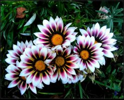 Bouquet of Sunny Gazanias by JocelyneR