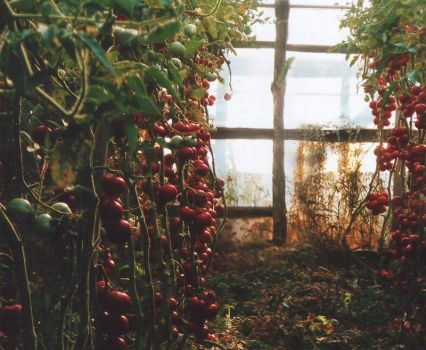 Tomato Forrest by mceric