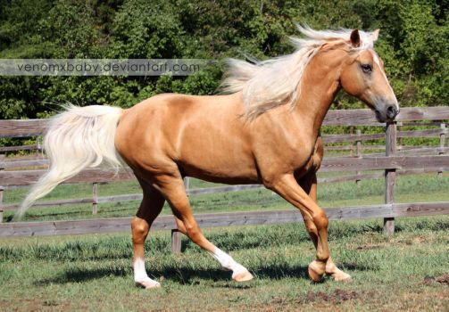 Palomino Tennessee Walker Horse 4 by venomxbaby