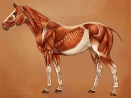 Horse Muscles Reference by EponaN64