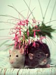 Rats and flowers by KarineOnTheMoon
