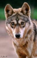 canis lupus pallipes by Yair-Leibovich