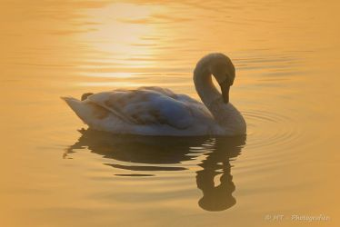 swan romance 17 by MT-Photografien