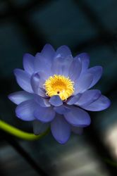 Flowering water lily by pixlmania