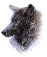 Black Timber Wolf by Exileden