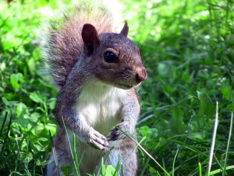 Grey squirrel by Mika3B