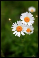 Some Daisies by DuvallGear