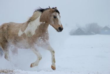Stock - Buckskin Paint Horse Galloping by Miss-Ketchup
