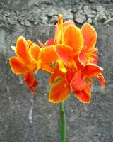 Flame lily (IMG 0127b) by Denish-C