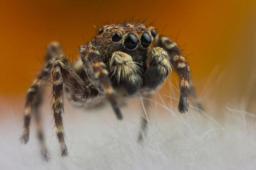 Jumping Spider 3 by Abovelifesize