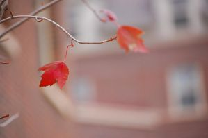 red leaf by Pendragon-007