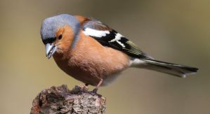 Chaffinch (male) by NurturingNaturesGift