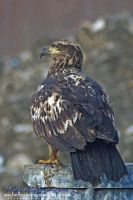Immature Eagle by MSimpsonPhotos
