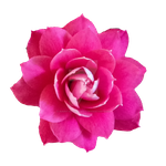Pink Flower PNG by Bunny-with-Camera