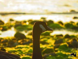 Canadian Goose In Golden Green by wolfwings1