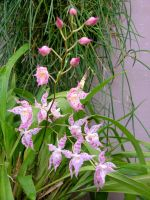 .stock: pink orchids. by guavon-stock