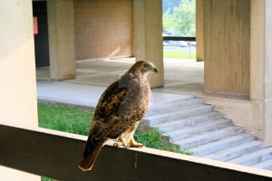 Red-Tailed Hawk by Mooseushi