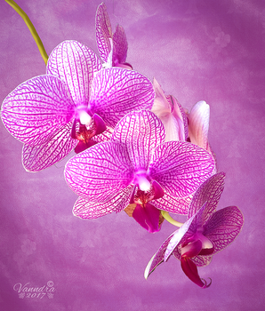 Pink Orchid by vanndra
