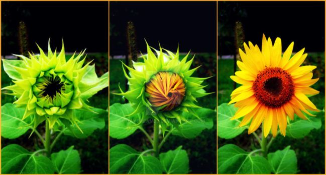 Growing sunflower by DayDream23