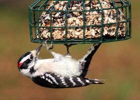 Rescued Woodpecker by boogster11