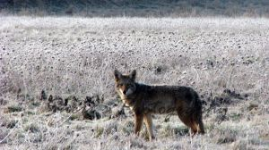 Frozen Coyote by Sheriannphotography