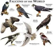 Falcons of the World by rogerdhall