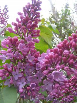My lilacs of 2018 by BlueIvyViolet