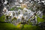 Cherry Blossoms in D.C. by TyLong