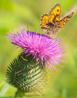 Foraging on a thistle II by starykocur