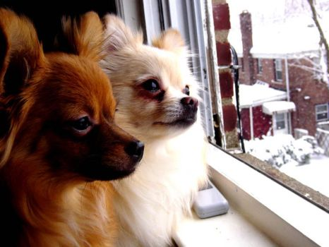 Pomeranian+Chihuaua: Snoflakes by dogs