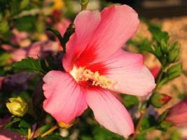 Rose of Sharon by davincipoppalag