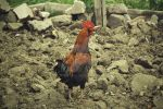 Red Rooster by HalitYesil