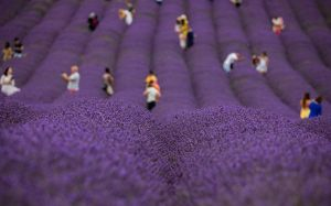 Lavender Fields Forever (5) by Mincingyoda