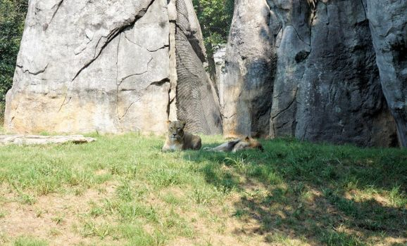 Lions by Dylan40