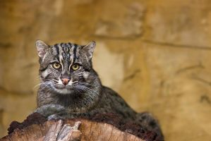 Fishing Cat by darkSoul4Life
