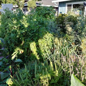 The jungle: Wife's front yard garden by lestnill