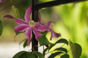 Clematis 2 by Winstein