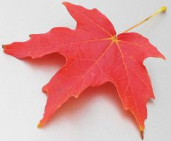 Maple Leaf III by archetype-stock