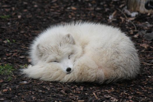 Arctic Fox Stock 02 by Malleni-Stock