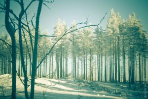 Winter pines by mtFr0st