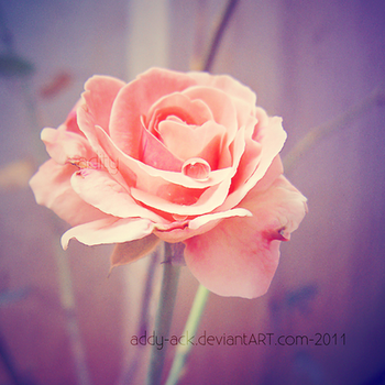 Blushing rose... by addy-ack