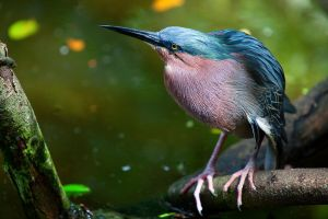Green Heron by secondclaw