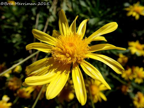 Yellow Daisy Flower II by BreeSpawn
